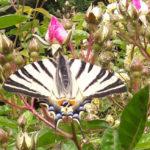 Papillon et bouton de rose